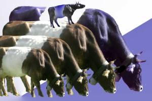 5 Kühe auf lila Gras