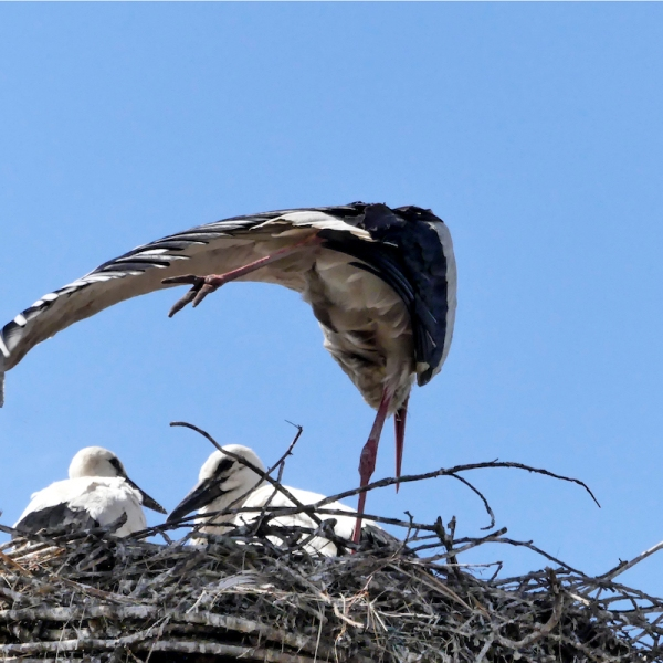 Storchjunge unter dem Flügel der Mutter