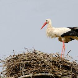 Der Grösste im Nest
