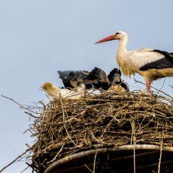 Storch hütet Geschwister